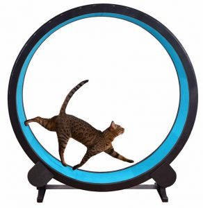 Bengal cat is using One Fast Cat Exercise Wheel in blue color.