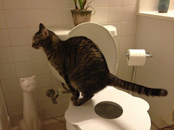Cat is using Kitty's Loo Seat for toilet training.