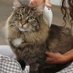 De-shedding cat with Flea Doctor Electronic Comb