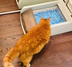 Cat using Petsafe automatic litter box for the first time